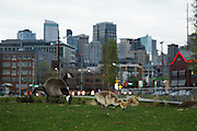 USA, Washington, Seattle, South Lake Union Park, a family of Canada Geese (Branta canadensis) feeding in front of the Seattle skyline.