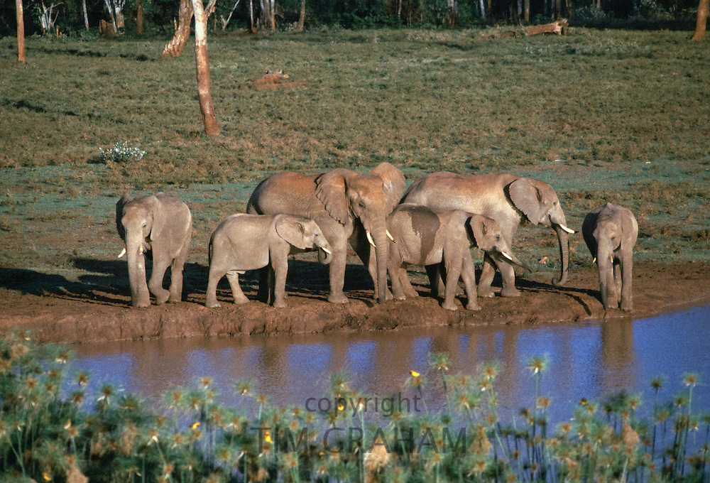 African elephants, Loxodonta Africana, drinking at water hole at Treetops in Aberdare National Park near Nyeri in Kenya, East Africa
