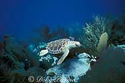 loggerhead sea turtle, <br /> Caretta caretta, Miami, Florida,<br /> ( Western Atlantic Ocean )