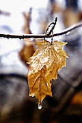 Leaf on bare tree branch in ice, water drop on leaf