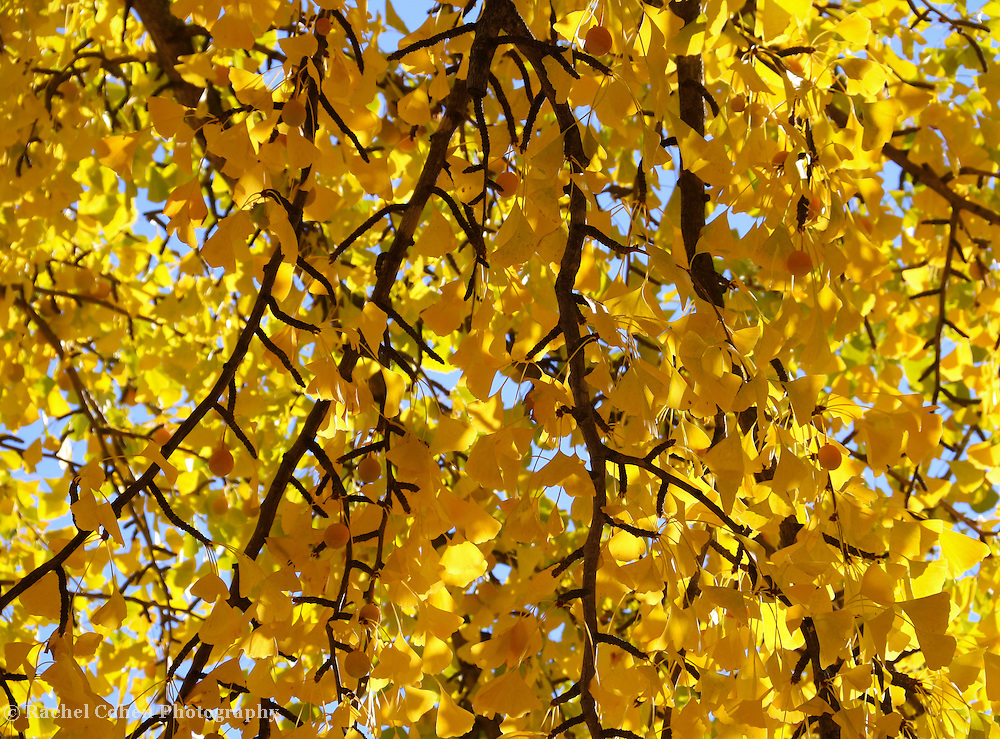 """""""Curtain of Golden Leave"""" <br /> <br /> As if a curtain of gold has descended from the sky! Beautiful branches of golden Ginkgo Leaves lit with fall sun stream down in autumn glory!"""
