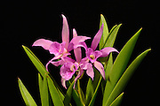 """Mini Cattleya orchid grown by the photographer, 9 inches tall, with one flower spike supporting 3 individual blossoms. <br /> <br /> Cattleya is a genus of 113 species of orchids found from Costa Rica to tropical South America. The genus was named in 1824 by John Lindley after Sir William Cattley who was the first to bloom a specimen of Cattleya labiata. William Swainson had discovered the new plant in Pernambuco, Brazil, in 1817 and shipped it to the Glasgow Botanic Gardens for identification.  Later, Swainson requested that a few plants be sent to Cattley who was able to bloom one a full year before the plants in Glasgow. It would be another 70 years before a Cattleya would be rediscovered in the wild because of a mixup in the assumed location of the plants. <br /> <br /> Cattleya are widely known for their large, showy flowers. The flowers of the hybrids can vary in size from 2 - 6 inches (5 -15 cm). They occur in all colors except true blue and black.  Cattleya have been hybridized for more than a century.  Beeding Cattleya with Laelia produces Laleliocattleya  and results in a more elongated closed """"cone"""" that gracefully opens into the full lip of the blossom.  Laelia also contributes to the intense violet shade."""