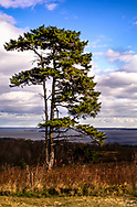 An old Pine Tree atop Beech Hill, in Rockport, Maine, overlooking the ocean on a Blue Sky, White Clouds day.