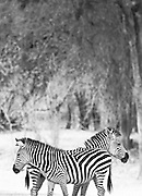 A pair of Zebra, Luangwa River Valley . Zambia, Africa