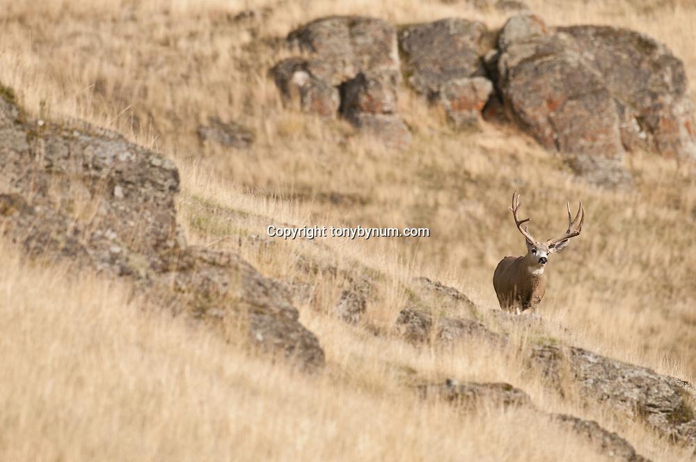 trophy mule deer buck in tall grass