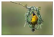 Village Weaver building a Nest.  Zimanga, South Africa. Nikon D500, 600mm, (900mm in full frame), f4, 1/2000sec, ISO200, Aperture priority