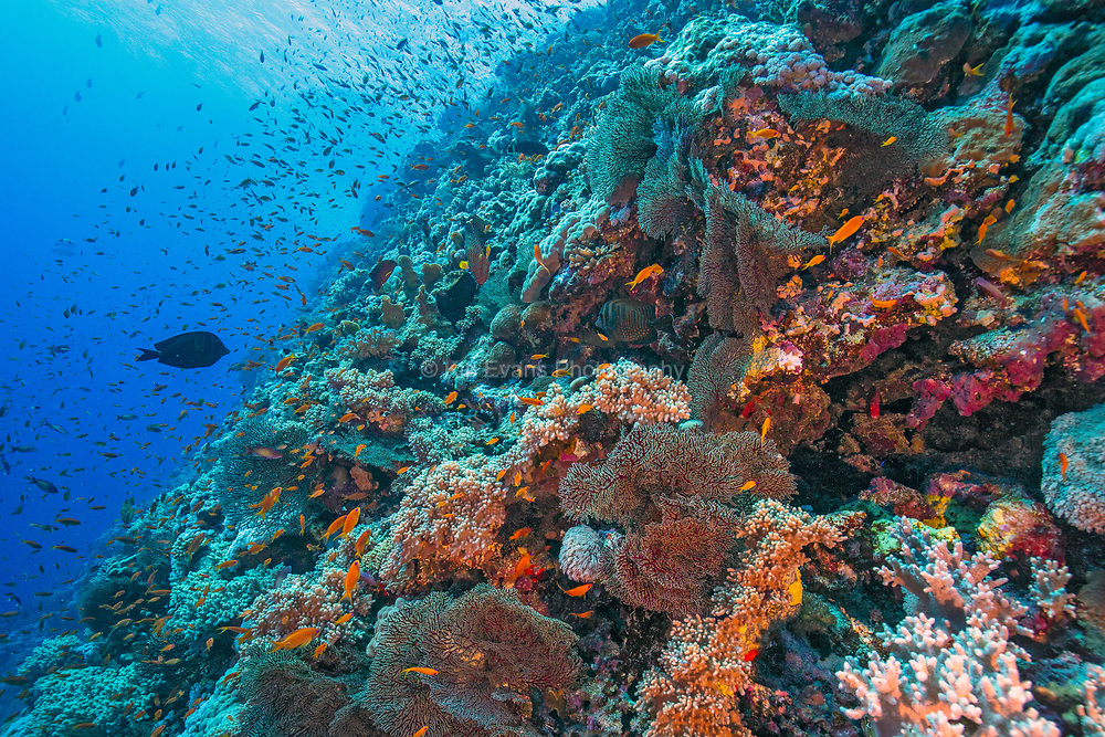 Colorful Red Sea Reef Wall, Red Sea, Egypt.