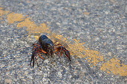 Crayfish on flooded road near Trinity River, Great Trinity Forest, Dallas, Texas, USA