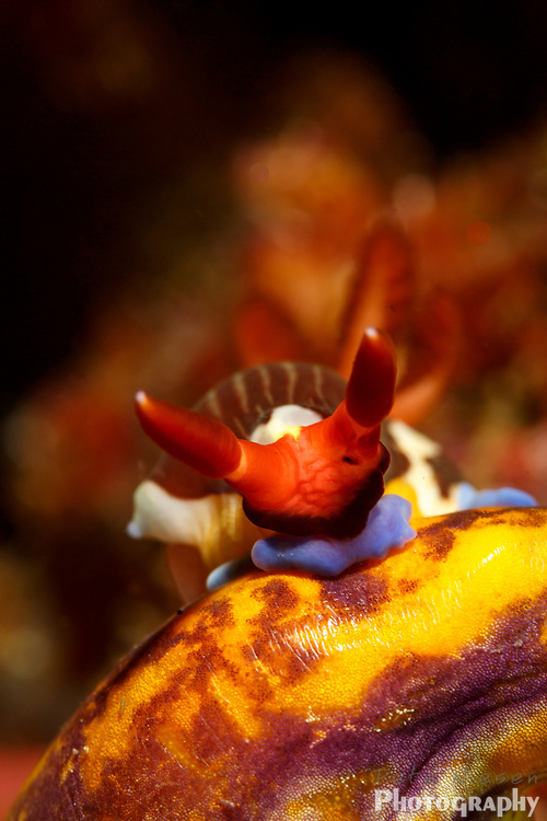 close up of head and horns o nudibrach, Nembrotha purpureolineata, on coral
