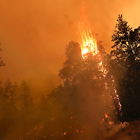 A tree explodes in flame along Empire Grade Road on August 19 as the CZU August Lightning Complex rages in Bonny Doon, California.