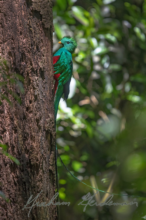 A male Resplendent Quetzal, showing its stunning long plumes.