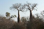 Boabab Tree, Adansonia rubrostipa, Reniala Nature Reserve, Ifaty, Madagascar