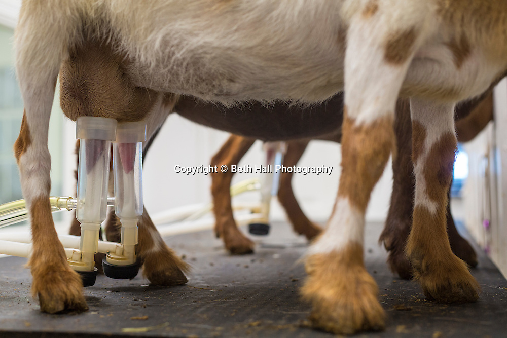 Holly Moody works in the milking room at White River Creamery on Friday, June 20, 2014 in Elkins, Ark.<br /> <br /> Photo by Beth Hall