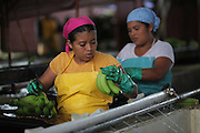 Mikaela Abrego, member of COOBANA, classifies banana hands according to their quality. COOBANA, Finca 51, Changuinola, Bocas del Toro, Panamá. September 3, 2012.