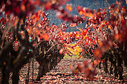 Cabernet Sauvignon vines backlit on an autumn afternoon in Napa Valley near Calistoga, California