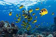 scuba diver and racoon butterflyfish ( Chaetodon lunula ) Kaiwi Point, Kona, Hawaii, USA ( Pacific ) MR 356
