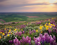 Lupines and Arrowleaf Balsam Root on Steptoe Butte, Washington