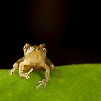 Miniature rain frog