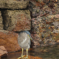 A juvenile Black-Crowned Night Heron (Nycticorax nycticorax) hunts for small fish on Carcass Island in Britain's Falkland Islands.