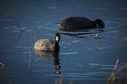 USA, Oregon, Baskett Slough National Wildlife Refuge. American Coot, (Fulica americana).