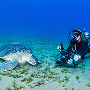 A green sea turtle (Chelonia mydas) feeding on Seagrass (Halophila stipulacea) while an underwater photographer documents the behaviour. Image made in the Red Sea off Marsa Alam, Egypt.