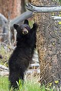 Black bear cub holding on to tree