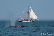 fin whale or finback whale, Balaenoptera physalus, Bay of Fundy, spouting or blowing, in front of whale watching boat Jolly Breeze, near Deer Island and Campobello Island, New Brunswick, Canada ( Bay of Fundy )