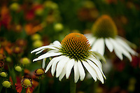 """New blooms of """"White Swan"""" Echinacea, also known as the coneflower."""