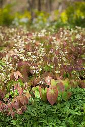 Epimedium × versicolor 'Sulphureum' AGM in the Nuttery at Sissinghurst Castle Garden
