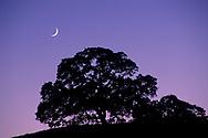 Crescent Moon in evening light over oak tree on Palassou Ridge, Santa Clara County, California