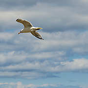 At lands end in Rockport, MA there is always a wind blowing.  This gull was taking advantage of the ind to glide to a landing.