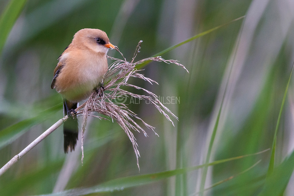 Young male bearded tit (Panurus biarmicus) feeding on seeds from stout grass in Vejlerne national park, northern Denmark in August 2021.