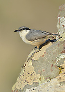 Rock Nuthatch - Sitta neumayer