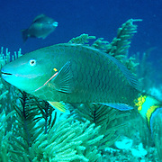 Stoplight Parrotfish swim about reefs and adjacent areas scrapping filamenmtous algae from hard substrates in Tropical West Atlantic; picture taken Little Cayman.