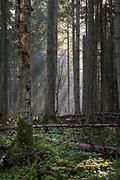 Sunrise shines between spruce trees (Picea abies) in foggy spring morning in boreal forest with woodland key habitat quality, Kemeri National Park (Ķemeru Nacionālais parks), Latvia Ⓒ Davis Ulands | davisulands.com