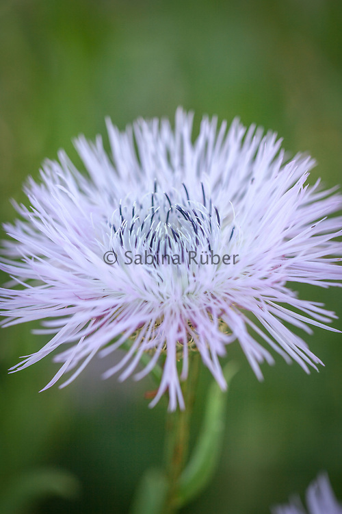 Centaurea americana 'Rosy lilac'