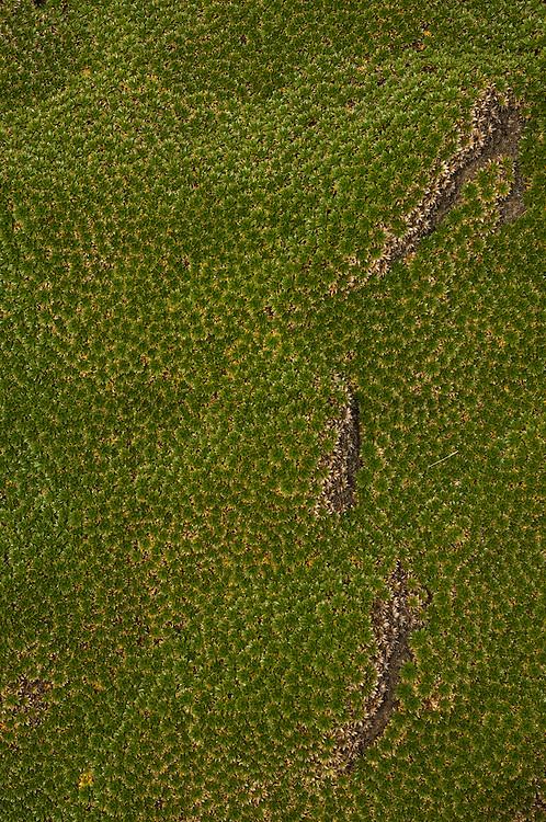 Cushion Plant (Azorella selago)<br /> Steeple Jason. FALKLAND ISLANDS.