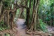 Manoa Falls Trail passes through an arch grown from tree roots in Honolulu Watershed Forest Reserve, Oahu, Hawaii, USA. Walk 1.6 miles round trip with 800 feet gain to see Manoa Falls, a waterfall of Waihi stream in Manoa Valley. The 100-foot high Manoa Falls nestles in a lush tropical rainforest in Oahu's Koolau mountains.