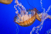 Monterey California USA, Jelly fish in the Monterey bay Aquarium