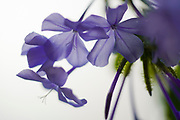Blue flower Artistic macro on white background