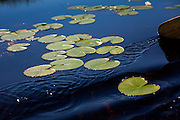 A paddle leaves a wake as it glides past lily pads in Au Gres, Michigan.