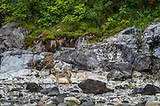 On the way back we happened upon this beautiful, and well camouflaged coastal grey wolf. It was really hard to see from far away!