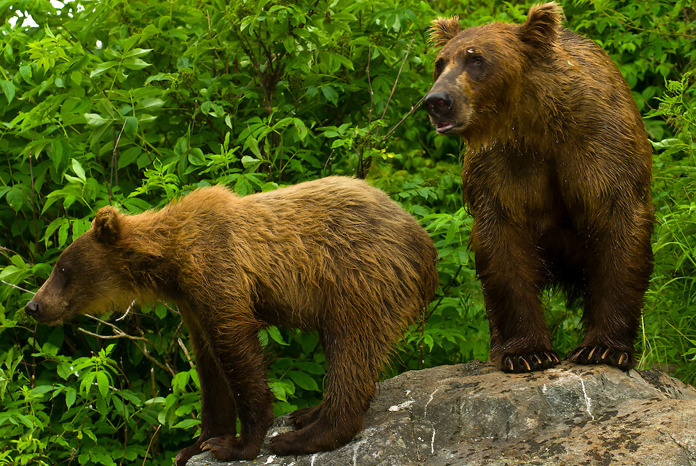 Brown bears (sow and cub) on a rock along the water, Big River Lakes (near Redoubt Bay Lodge), Cook Inlet, Alaska