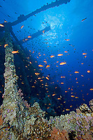 Anthias Feed among the soft coral encrusted supports of a wrecked ferry