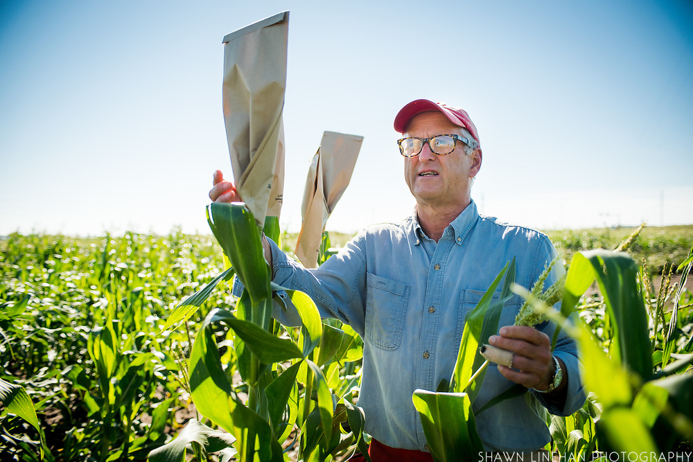 Bill Tracy controls the pollinating of an ear of corn by placing a bag over the ear.