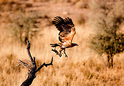 Kagalagadi Transfrontier Park. Tawny eagle with prey
