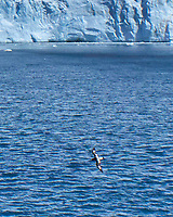 Cape Petrel (Daption capense). Elephant Island. Viewed from the deck of the Hurtigruten MS Fram. Image taken with a Leica T camera and 18-56 mm lens.