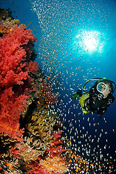 soft corals, Dendronephthya sp., with glassfishes and scuba diver, El Quseir, Egypt, Red Sea, MR