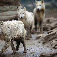 030115  Adron Gardner/Independent<br /> <br /> Westeros five enclosure wolves collect in a pen at the Wild Spirit Wolf Sanctuary in Candy Kitchen Saturday.   Ten wolves rescued from Iowa were named by Game of Thrones author George R.R. Martin and his wife Parris after characters in the Song of Ice and Fire books.