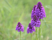 Flower heads of pyramidal orchid (Anacamptis pyramidalis). Rye Harbour Nature Reserve. Rye, Sussex, UK